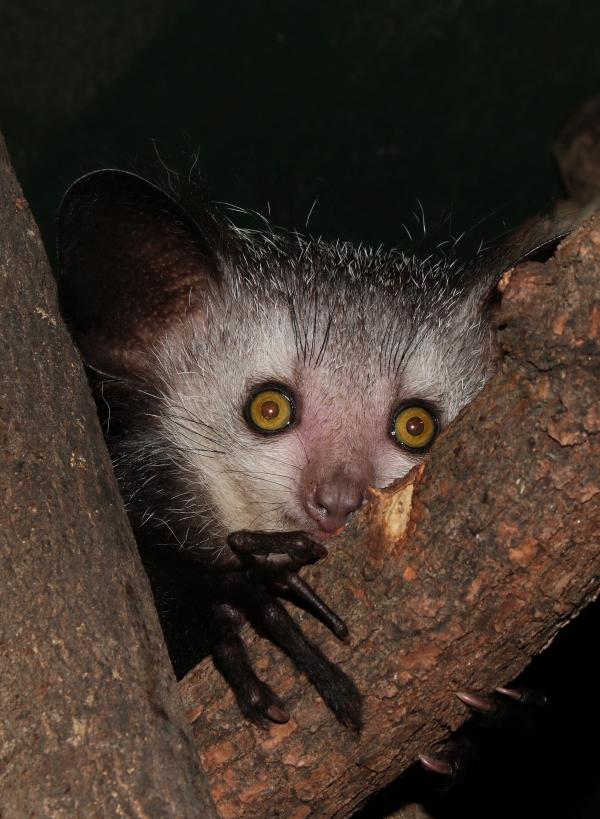 Ei Ei Lemur