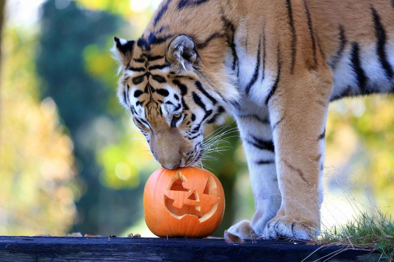 4_Amur tiger with pumpkin_Woburn Safari Park