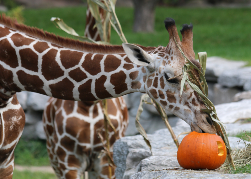 12_Giraffe - Mpenzi - Pumpkin_Detroit Zoo_Jennie Miller