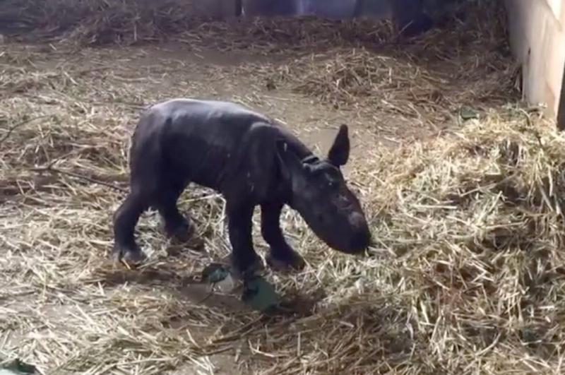 Baby rhino at Howletts Wild Animal Park
