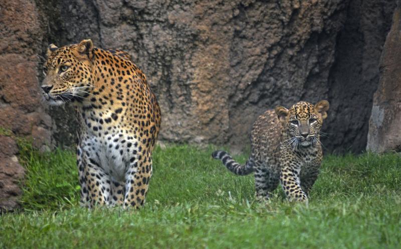 1_BIOPARC Valencia - leopardos - madre y cachorro (primer día en el bosque ecuatorial)