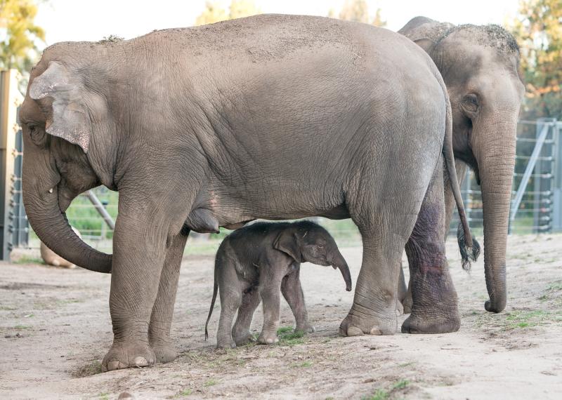 3_Elephant calf at Taronga Western Plains Zoo by Rick Stevens (3)