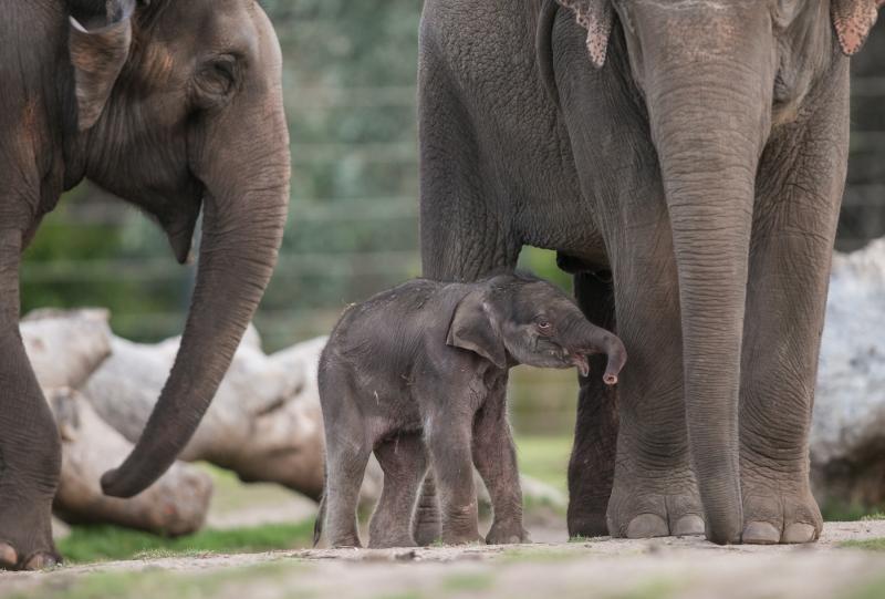 6_Elephant calf at Taronga Western Plains Zoo by Rick Stevens (10)