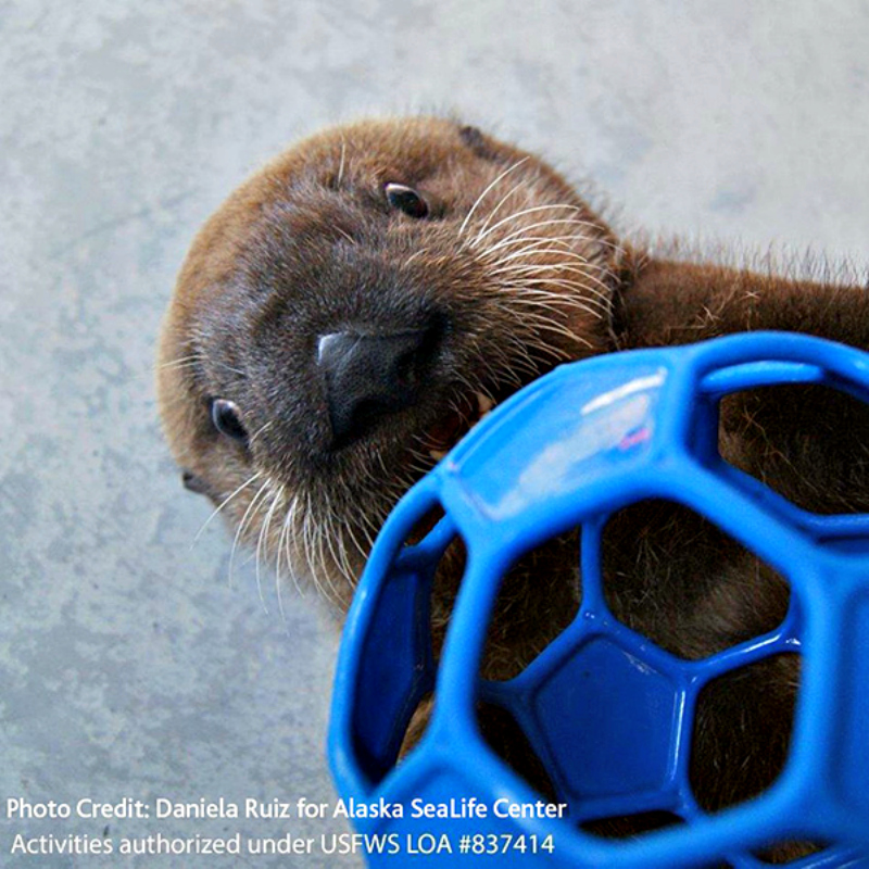 Vancouver-Aquarium-Has-Taken-in-Another-Two-Sea-Otter-Pups-3