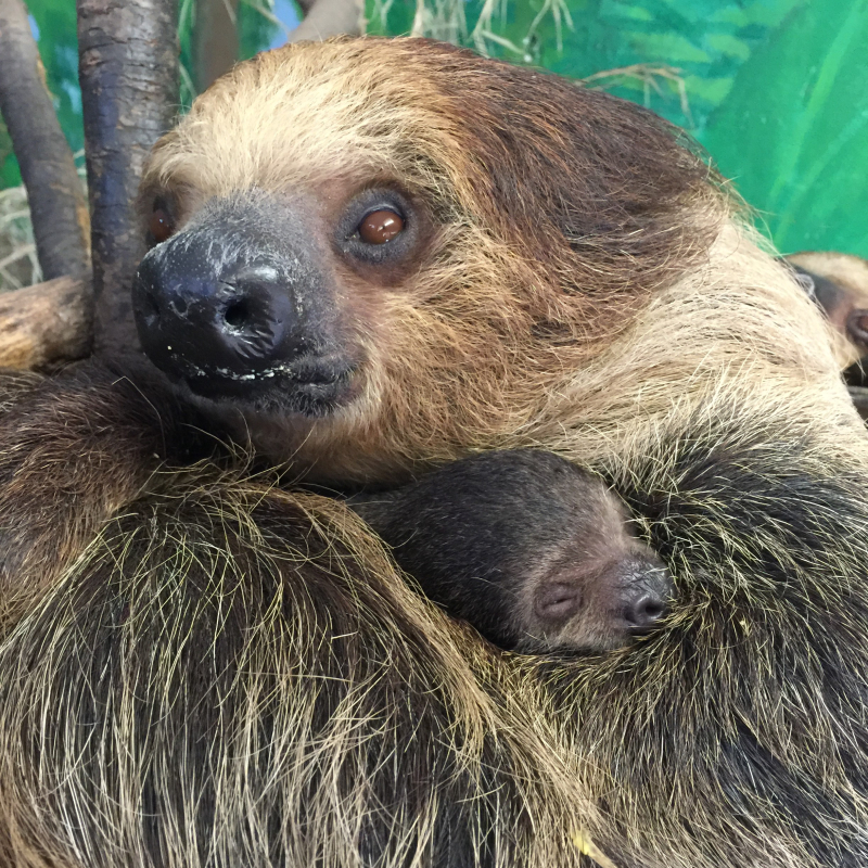3_Sloth baby 13 11-5-16 Dayle Sullivan-Taylor