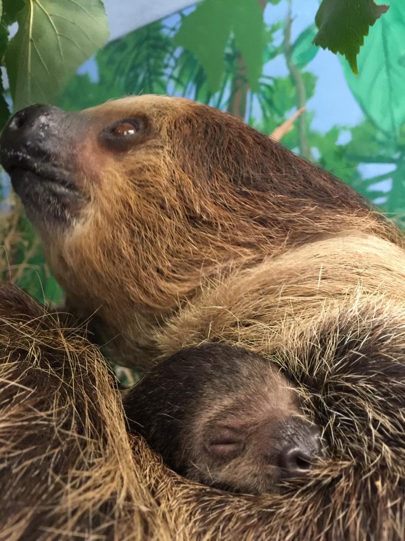 2_Sloth baby 16 11-5-16 Dayle Sullivan-Taylor