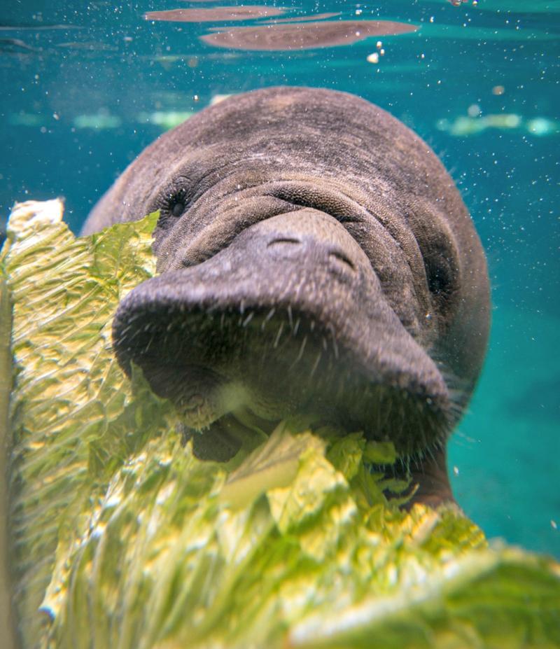 Manatees 9021 - Grahm S. Jones, Columbus Zoo and Aquarium