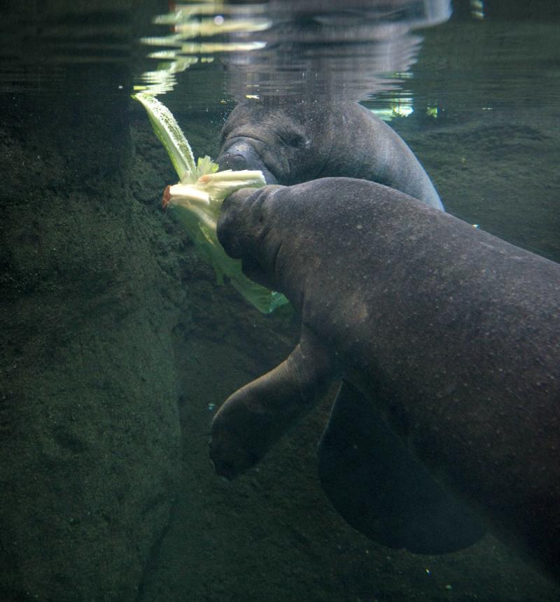 Manatees 9053 - Grahm S. Jones, Columbus Zoo and Aquarium