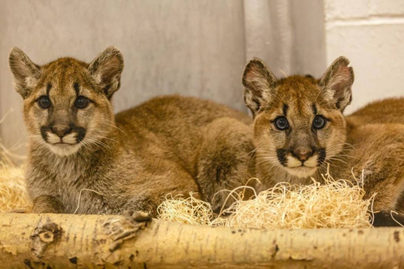 3ce642efca2f The Minnesota Zoo recently welcomed two orphaned Puma kittens to Apple  Valley