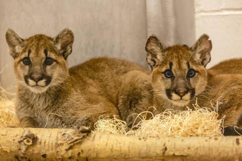 1_Puma Kitten_5