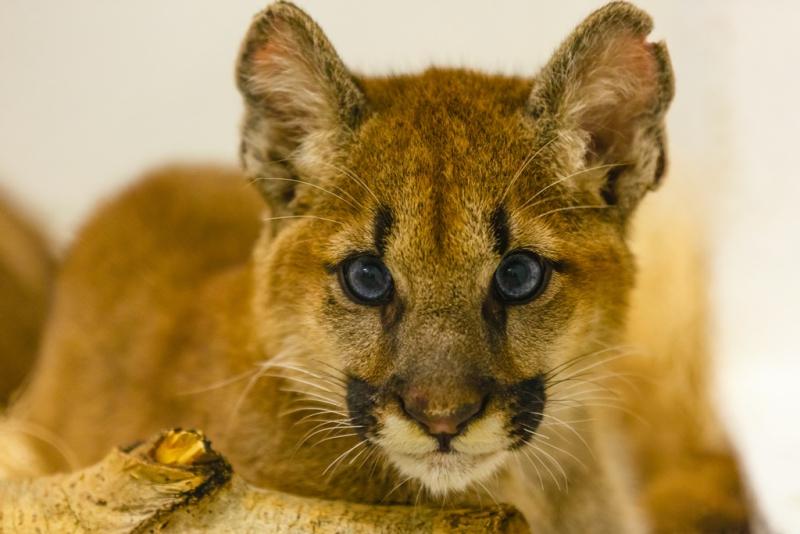2_Puma Kitten_4