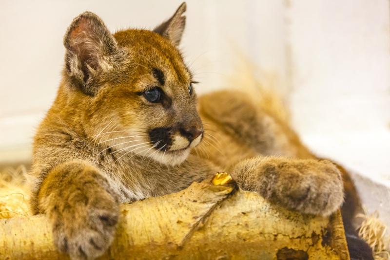 4_Puma Kitten_3