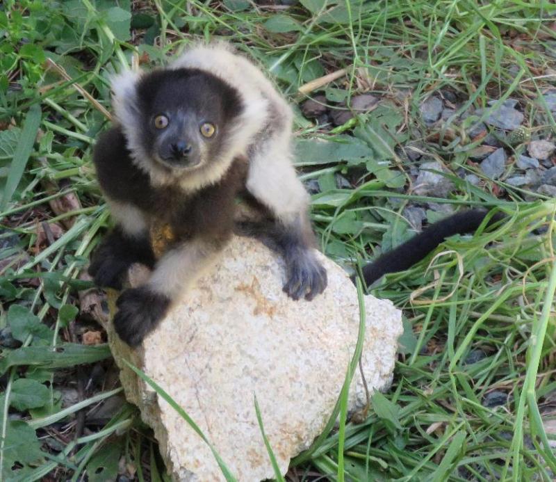 3_B&W Ruffed Lemurs ZOO ACT 2016 Nov 7 (18)