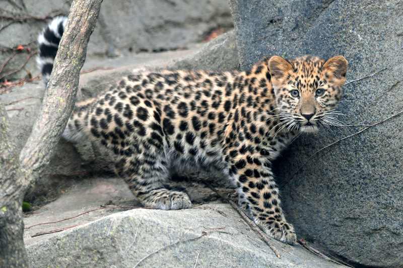 Amur Leopard Cub-1