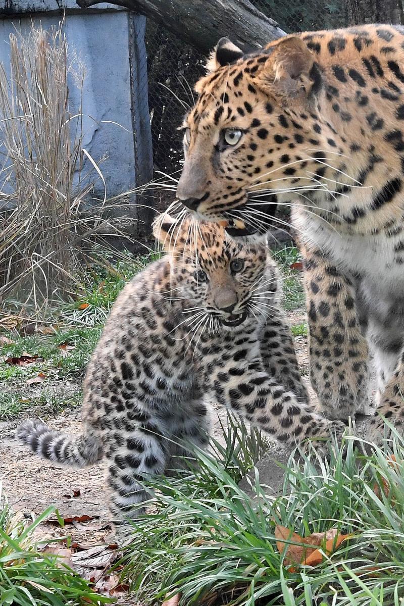 Amur Leopard Cub-4