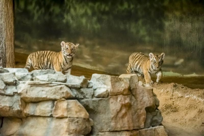2_Tiger Cubs 11-2016-3289 E