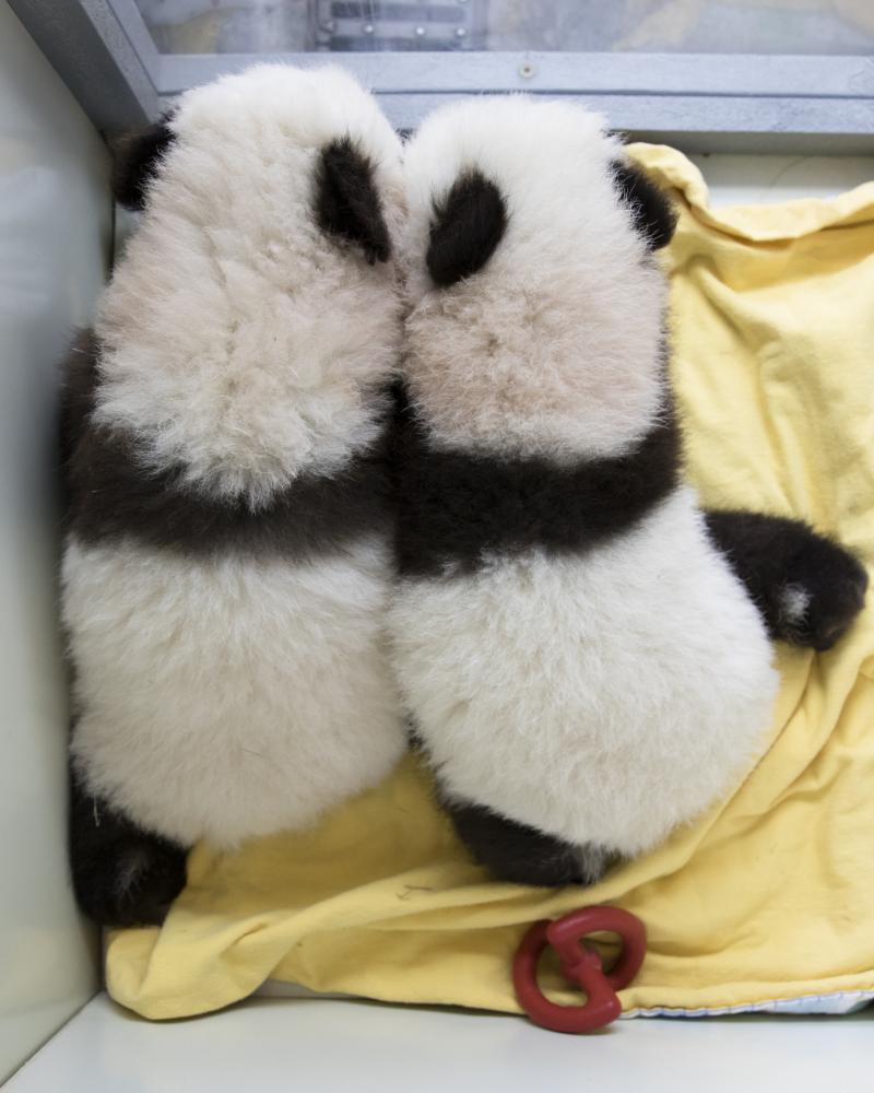 4_panda_cubs2016_161209_cubb_cuba_ZA_5321