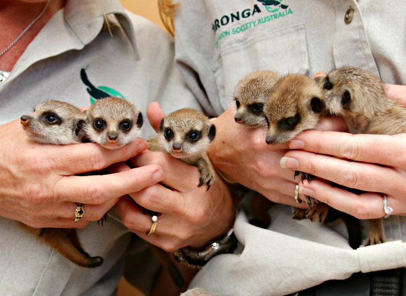 Meerkat Pups 13_Photo by Paul Fahy