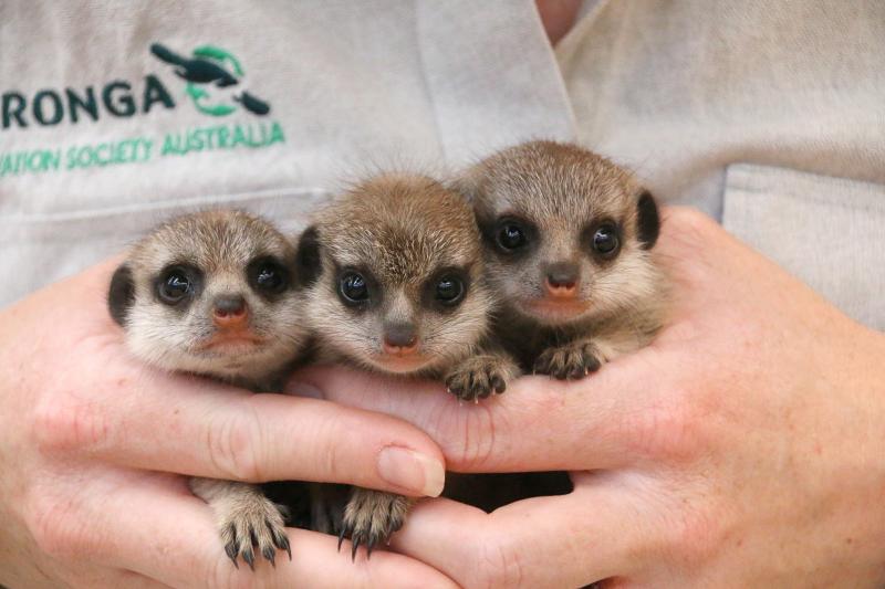 Meerkat Pups 3_Photo by Paul Fahy