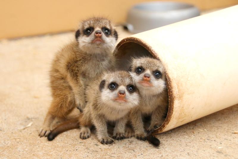 Meerkat Pups 12_Photo by Paul Fahy