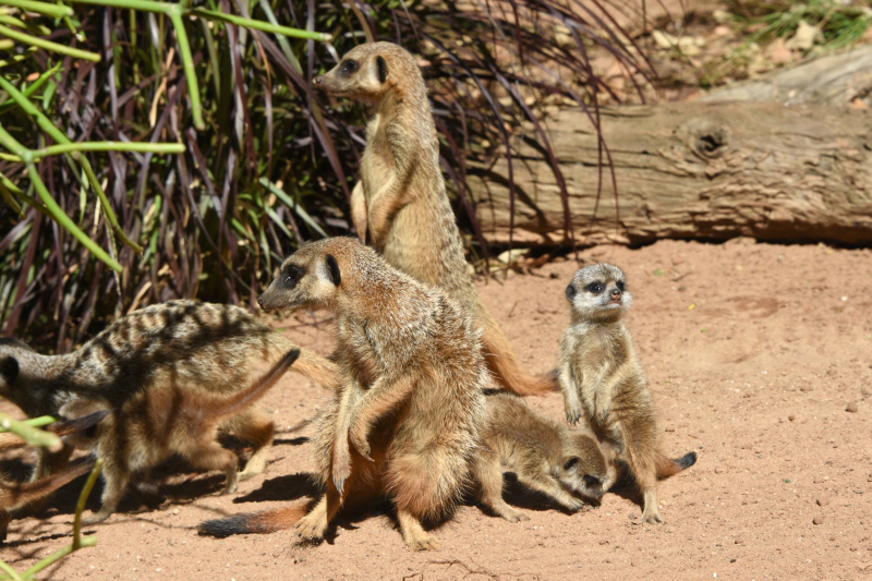 Meerkat Pups 19_Photo by Courtney Mahony