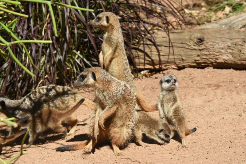 Meerkat Pups 19_Photo by Courtney Mahony