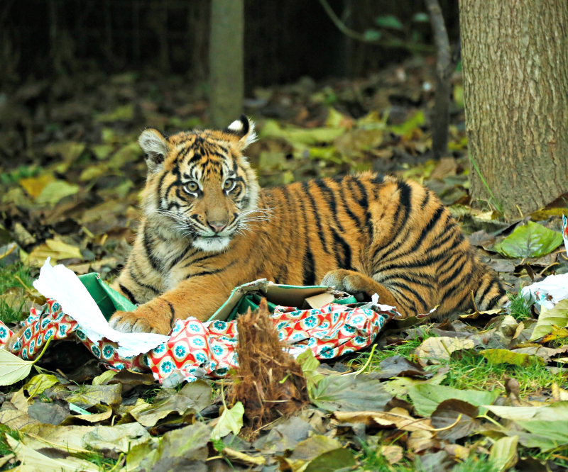 Tiger cubs get Christmas presents (c) ZSL London Zoo (3)