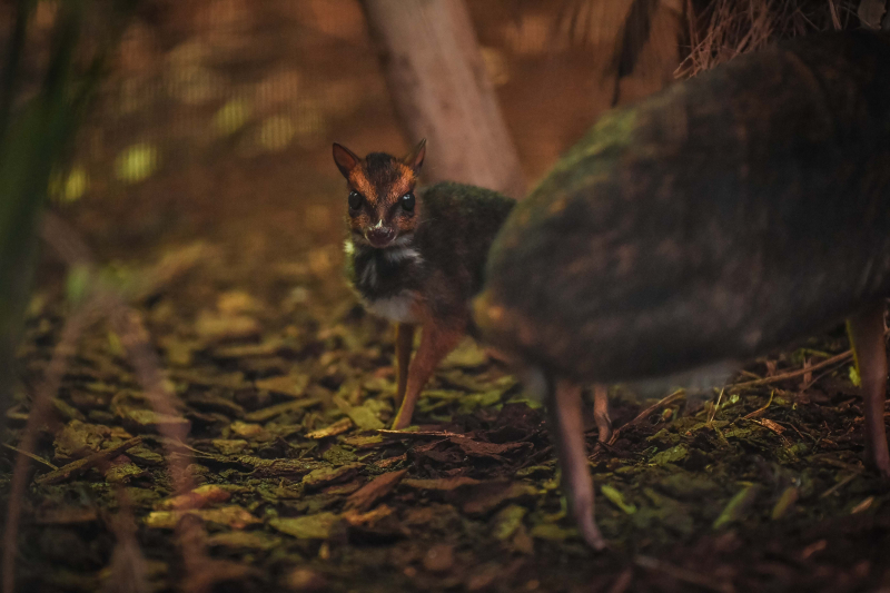 3_Rare Philippine mouse deer born in UK first at Chester Zoo (22)