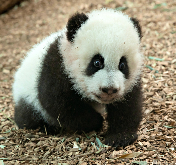 Giant Panda Cubs Learn to Walk - ZooBorns