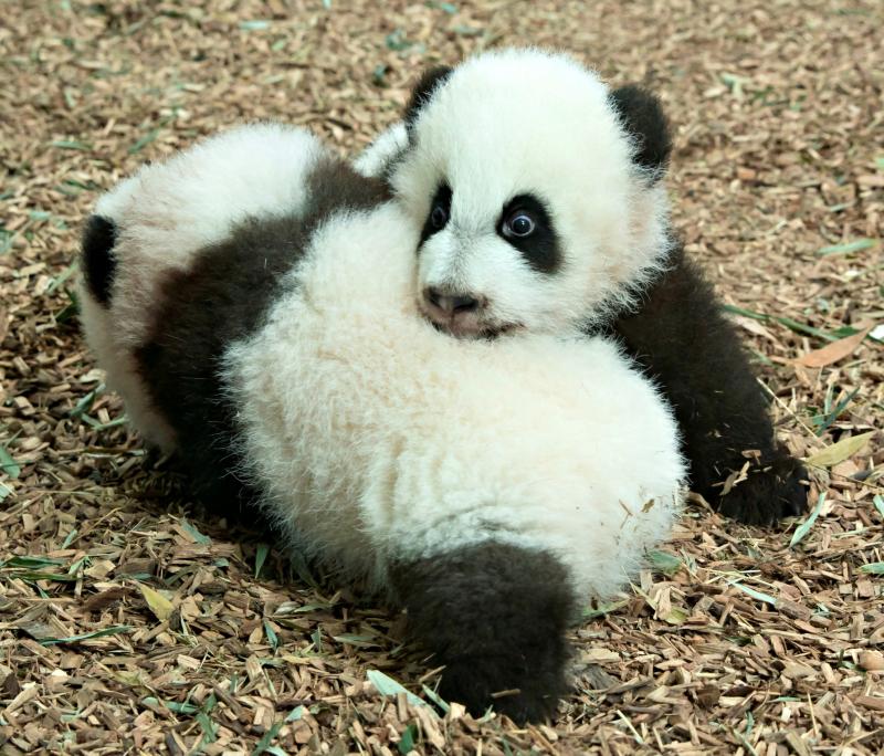 Panda_cubs2016_161227_dayroom_ZA_5859