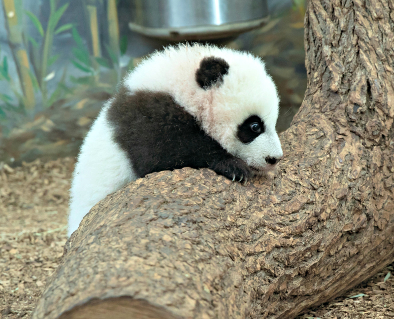 Panda_cubs2016_161227_dayroom_ZA_5942
