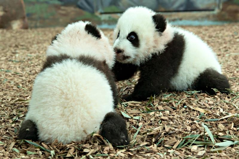 Panda_cubs2016_161227_dayroom_ZA_5877