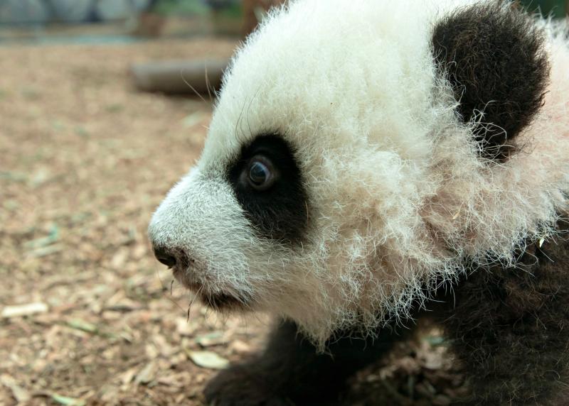 Panda_cubs2016_161227_dayroom_ZA_5896