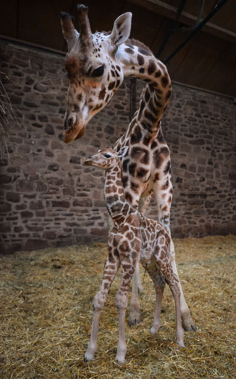 "1) Keepers at Chester Zoo are celebrating ""the best Christmas gift they could have wished for"" following the birth of a rare Rothschild's giraffe calf (16)"