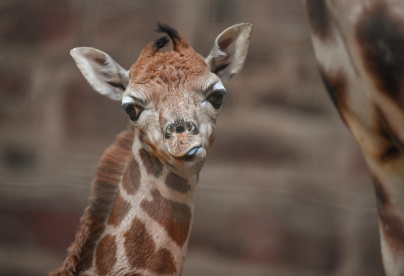 """Keepers at Chester Zoo are celebrating """"the best Christmas gift they could have wished for"""" following the birth of a rare Rothschild's giraffe calf (1)"""