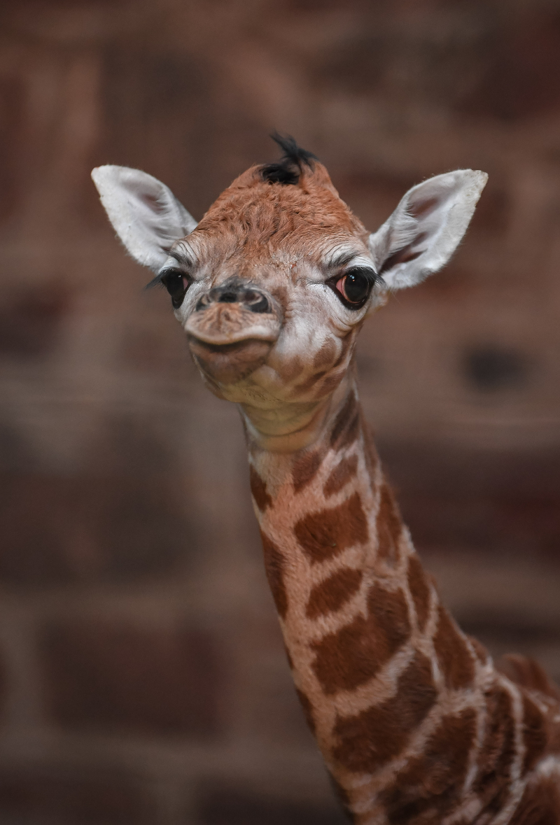 """Keepers at Chester Zoo are celebrating """"the best Christmas gift they could have wished for"""" following the birth of a rare Rothschild's giraffe calf (6)"""