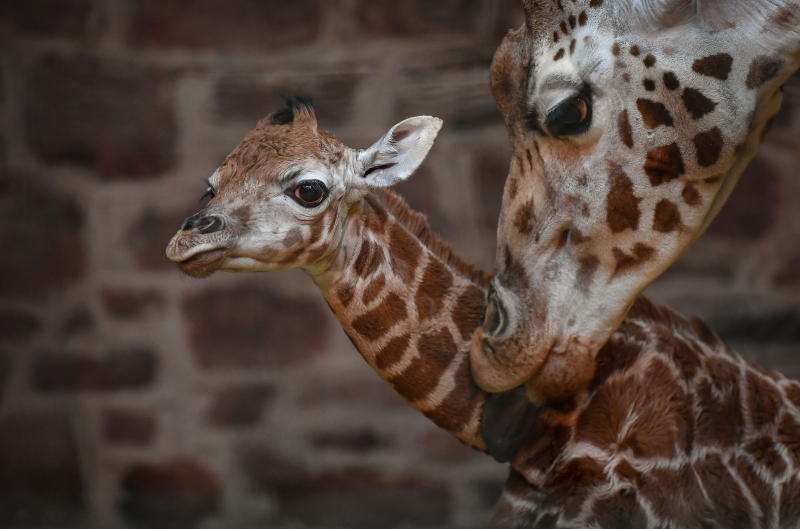 """Keepers at Chester Zoo are celebrating """"the best Christmas gift they could have wished for"""" following the birth of a rare Rothschild's giraffe calf (9)"""