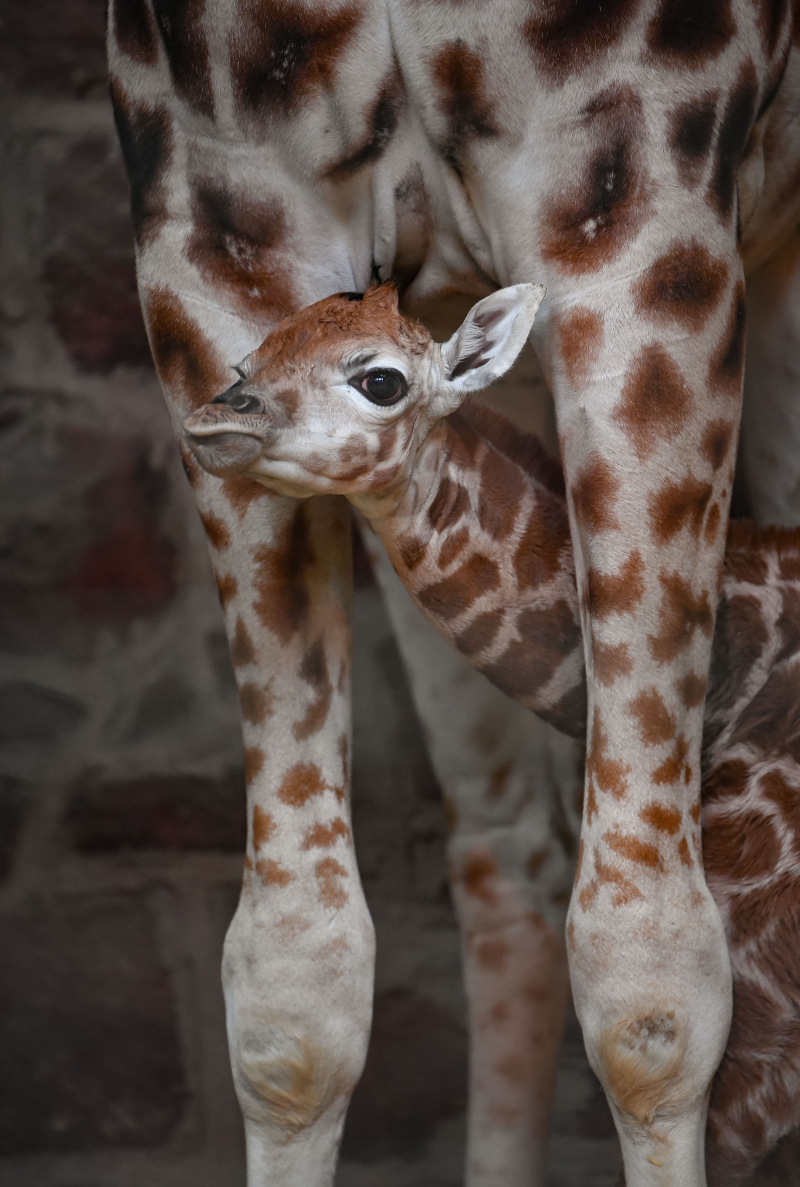 """Keepers at Chester Zoo are celebrating """"the best Christmas gift they could have wished for"""" following the birth of a rare Rothschild's giraffe calf (12)"""