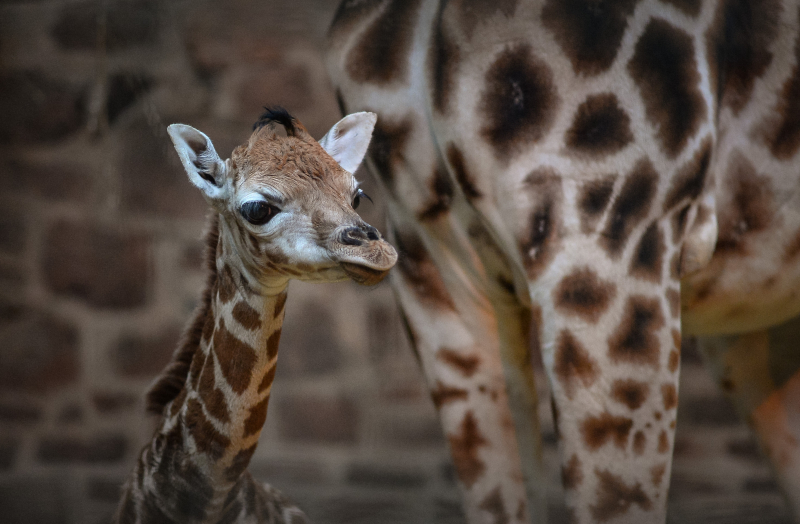 """Keepers at Chester Zoo are celebrating """"the best Christmas gift they could have wished for"""" following the birth of a rare Rothschild's giraffe calf (18)"""