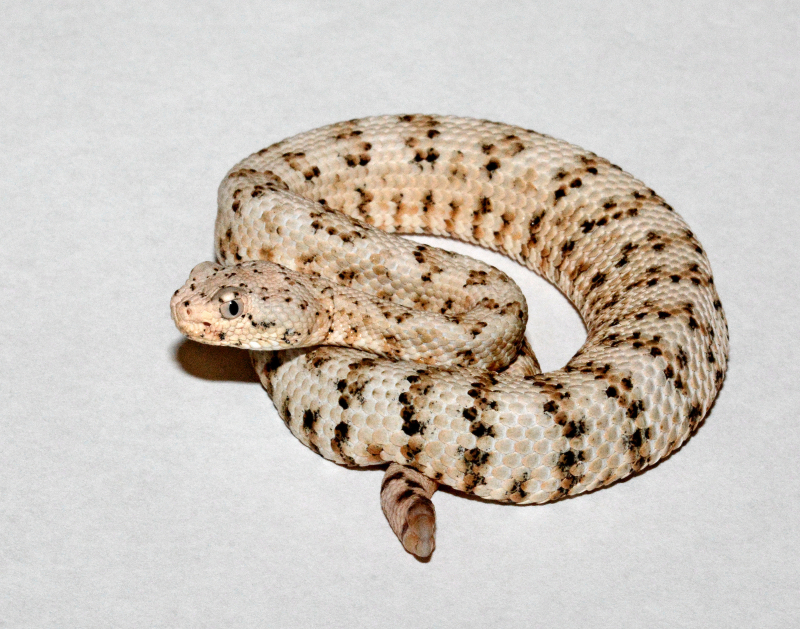 8_Los Angeles Zoo Baby Southwest Speckled Rattlesnake by Tad Motoyama