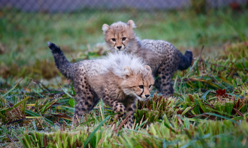 3_Cheetah cubs Winston and Poppy explore their outdoor paddock for the first time at Longleat Safari Park PIC Caleb Hall