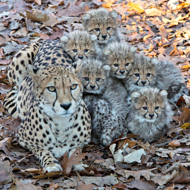 Cheetazesling 1