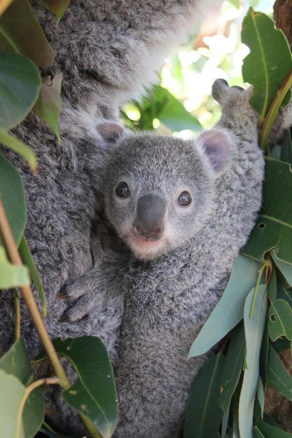 Two Koala Joeys Emerge at Taronga Zoo