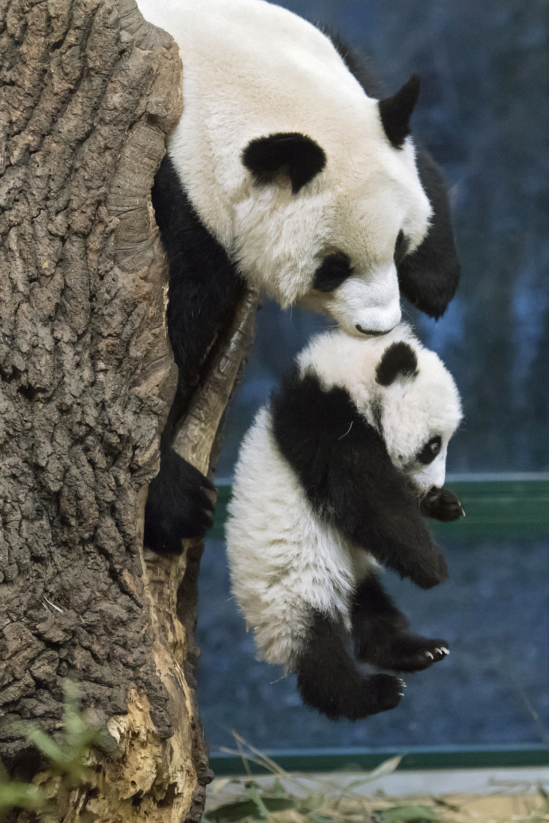 Panda Twins Are Top Attraction at Vienna Zoo