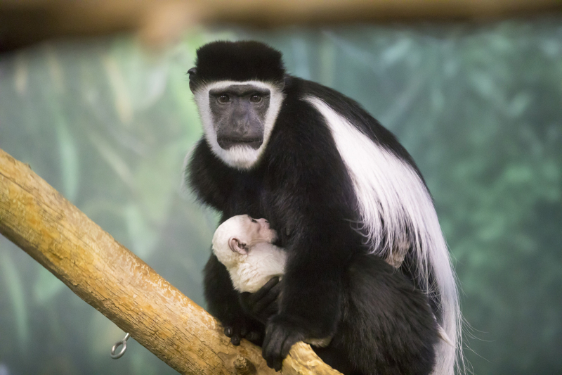 1_black-and-white colobus Lincoln Park Zoo