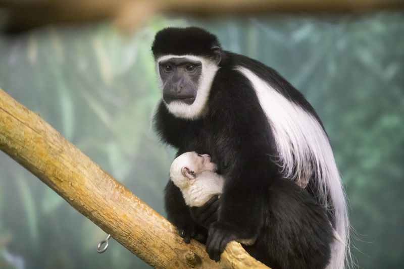 2_black-and-white colobus Lincoln Park Zoo_2