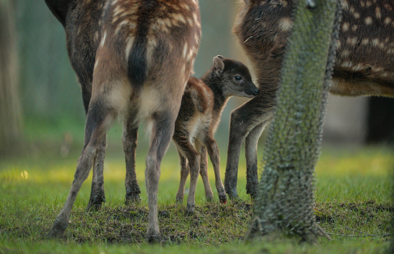 Endangered Philippine spotted deer born at Chester Zoo (10)