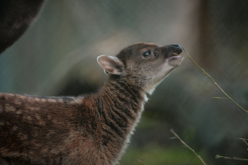 Endangered Philippine spotted deer born at Chester Zoo (18)