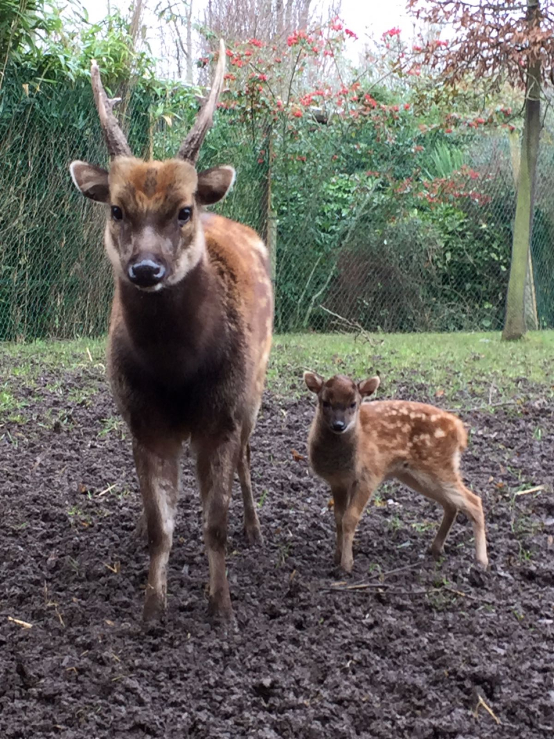 Endangered Philippine spotted deer born at Chester Zoo (20)