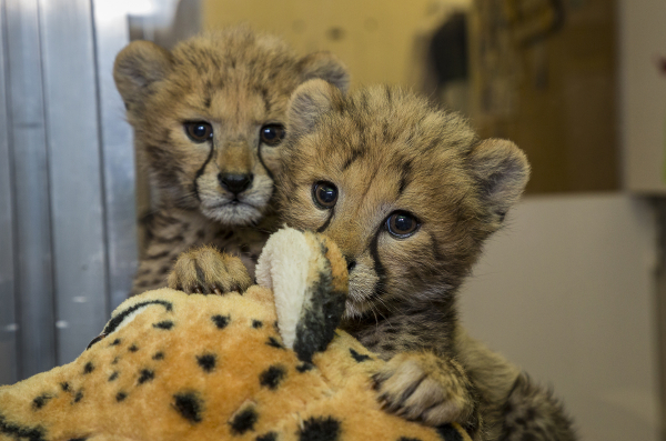 San Diego Cheetah Sisters Ready to Be Weaned